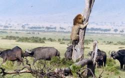 ლომმა გაბრაზებული კამეჩებისგან თავს ხეზე აძრომით უშველა