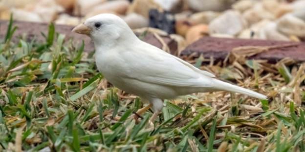 CORRECTION-AUSTRALIA-ANIMAL-SPARROW