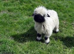 ვალიური შავცხვირა ცხვრები – ყველაზე საყვარელი ცხვრები დედამიწაზე