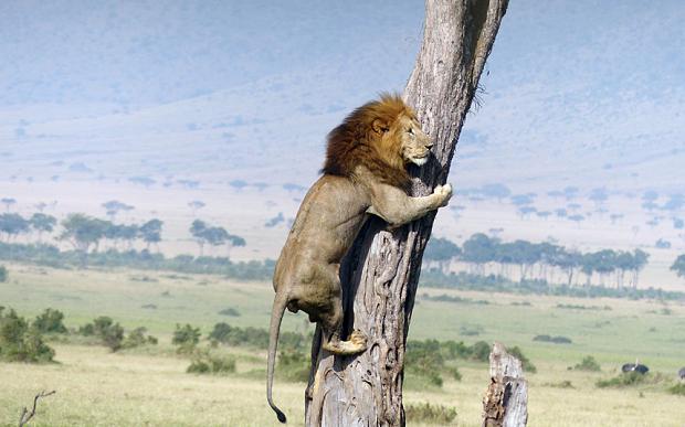 lion-masai-_3317097b