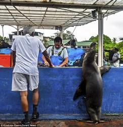 ზღვის ლომები და პელიკანები საჭმლის მოლოდინში