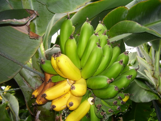 Bananas_in_Iceland