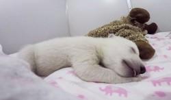 იცით, როგორ ღრუტუნებს ახალშობილი პოლარული დათვი?