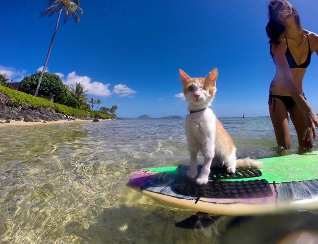 surfing-cat-likes-water-swimming-kuli-hawaii-3