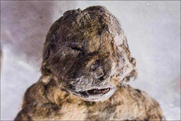 cave-lion-cub